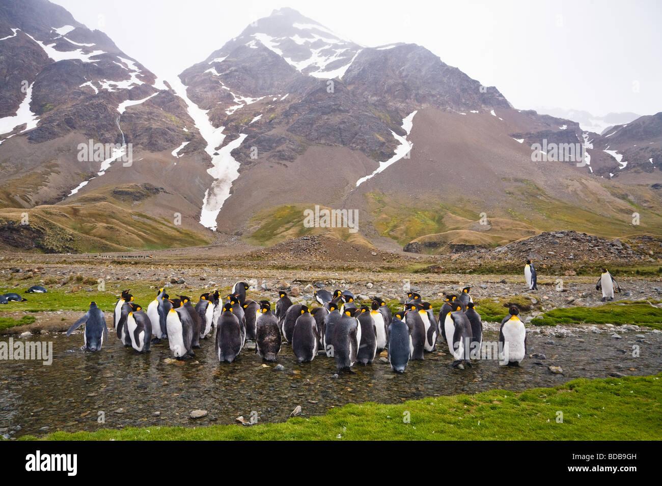 Le manchot royal Aptenodytes patagonicus Fortuna Bay Géorgie du Sud Antarctique Banque D'Images