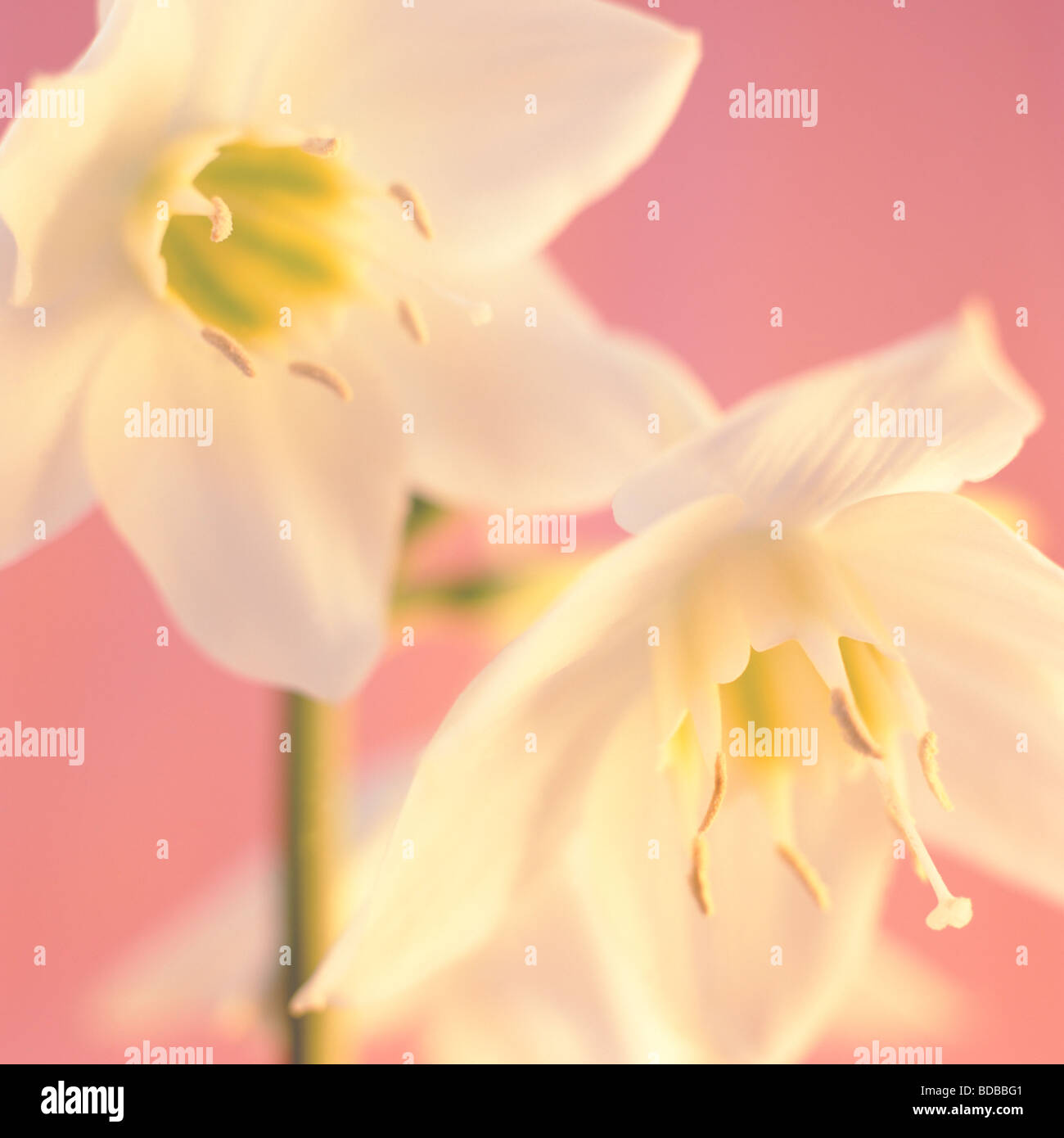 Romantique féminin eucharis fine art photography Photographie Jane Ann Butler JABP264 Photo Stock