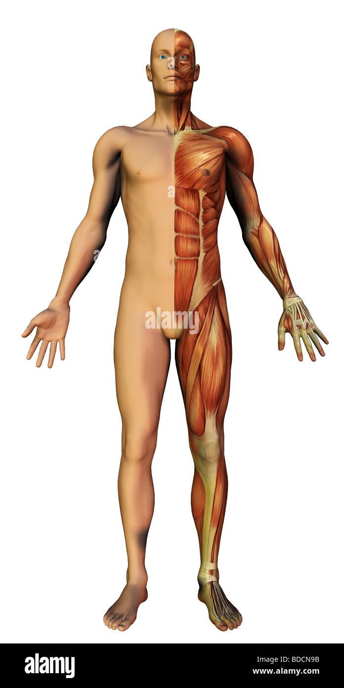 anatomie humaine Photo Stock