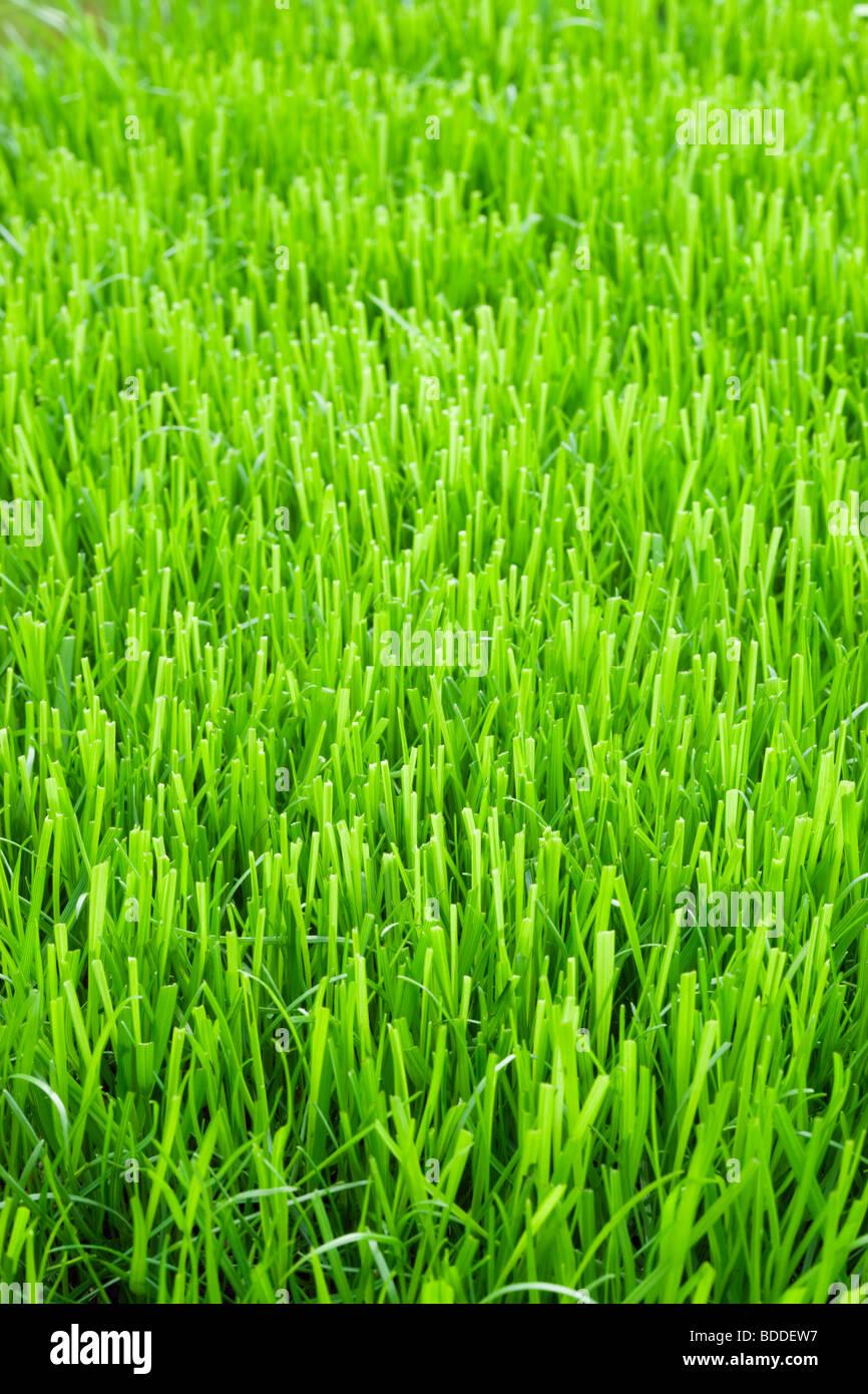 Herbe de la pelouse Photo Stock