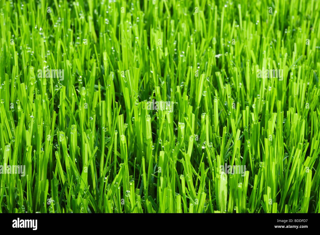 L'herbe de la pelouse avec des gouttelettes d'eau Photo Stock