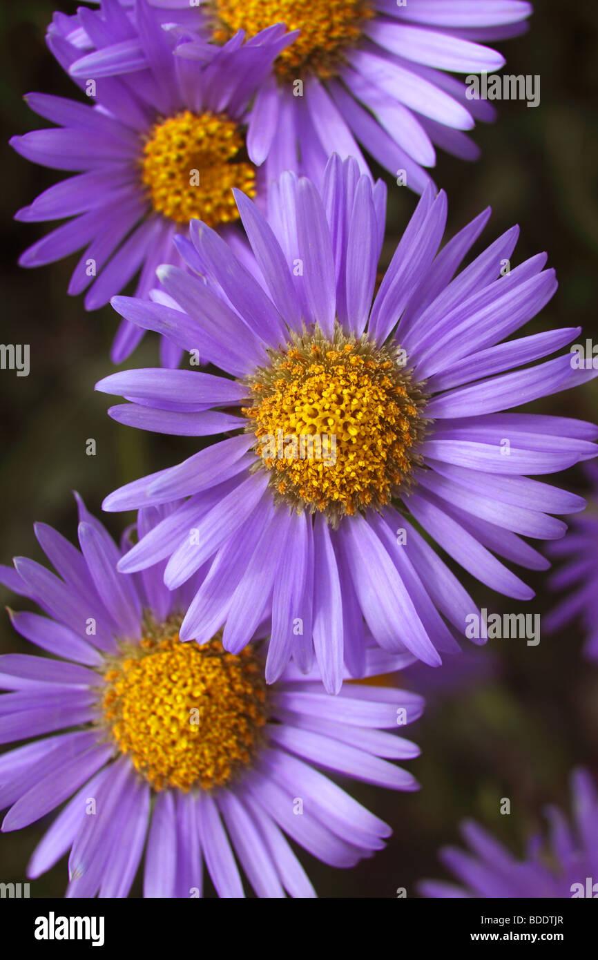 Aster alpinus fleurs qui poussent à flanc de montagne dans le Gran Sasso D'Italia dans les Apennins, en Photo Stock