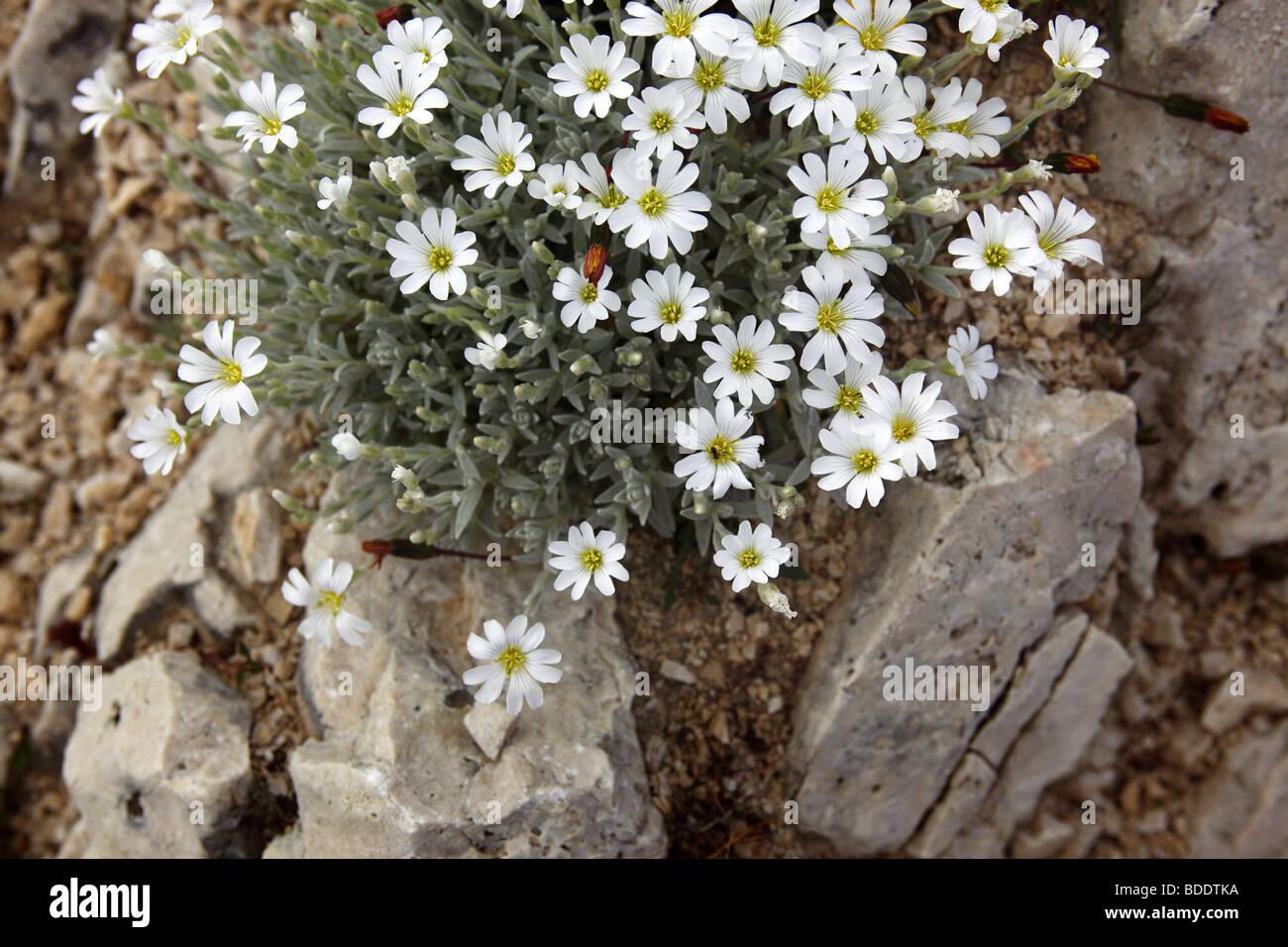 Androsace villosa fleurs qui poussent à flanc de montagne dans le Gran Sasso D'Italia dans les Apennins, Photo Stock