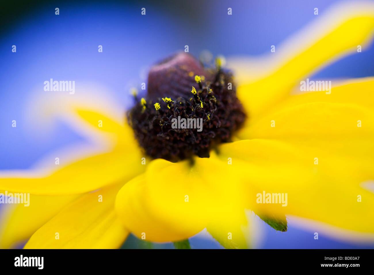 Rudbeckia fulgida Goldsturm contre fleur fond bleu dans un jardin Photo Stock