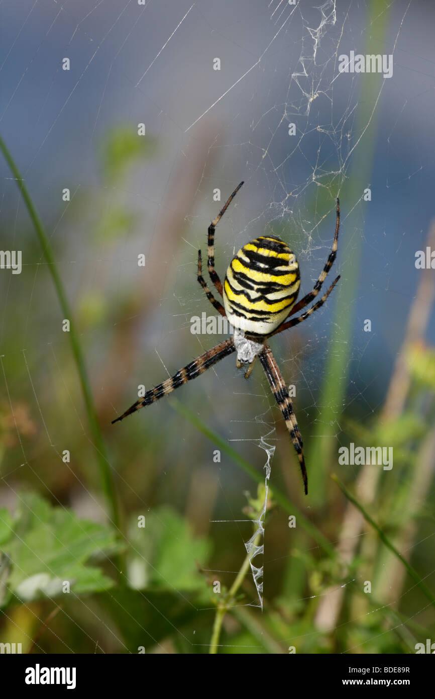 Spider Argiope bruennichi Wasp dans web femelle Photo Stock