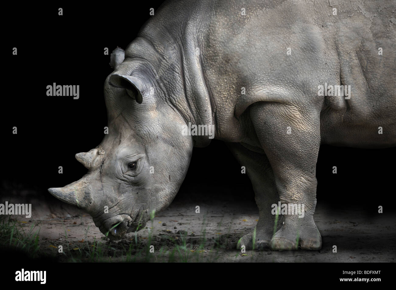 Flexion rhinocéros de manger sur fond sombre Photo Stock