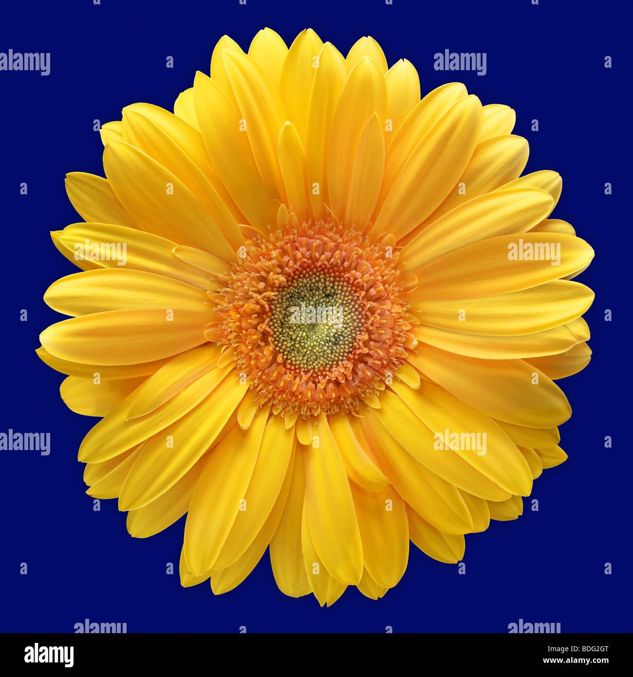 Fleur Gerbera Jaune Sur Fond Bleu Banque D Images Photo Stock