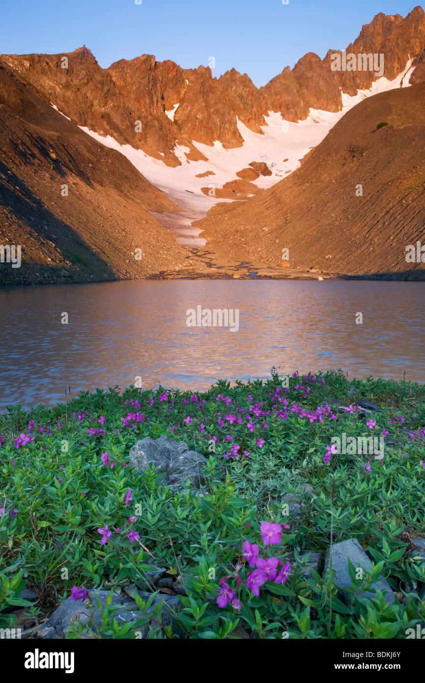 Fleurs sauvages dans la région de Marathon Mt bol, Seward, Alaska. Photo Stock