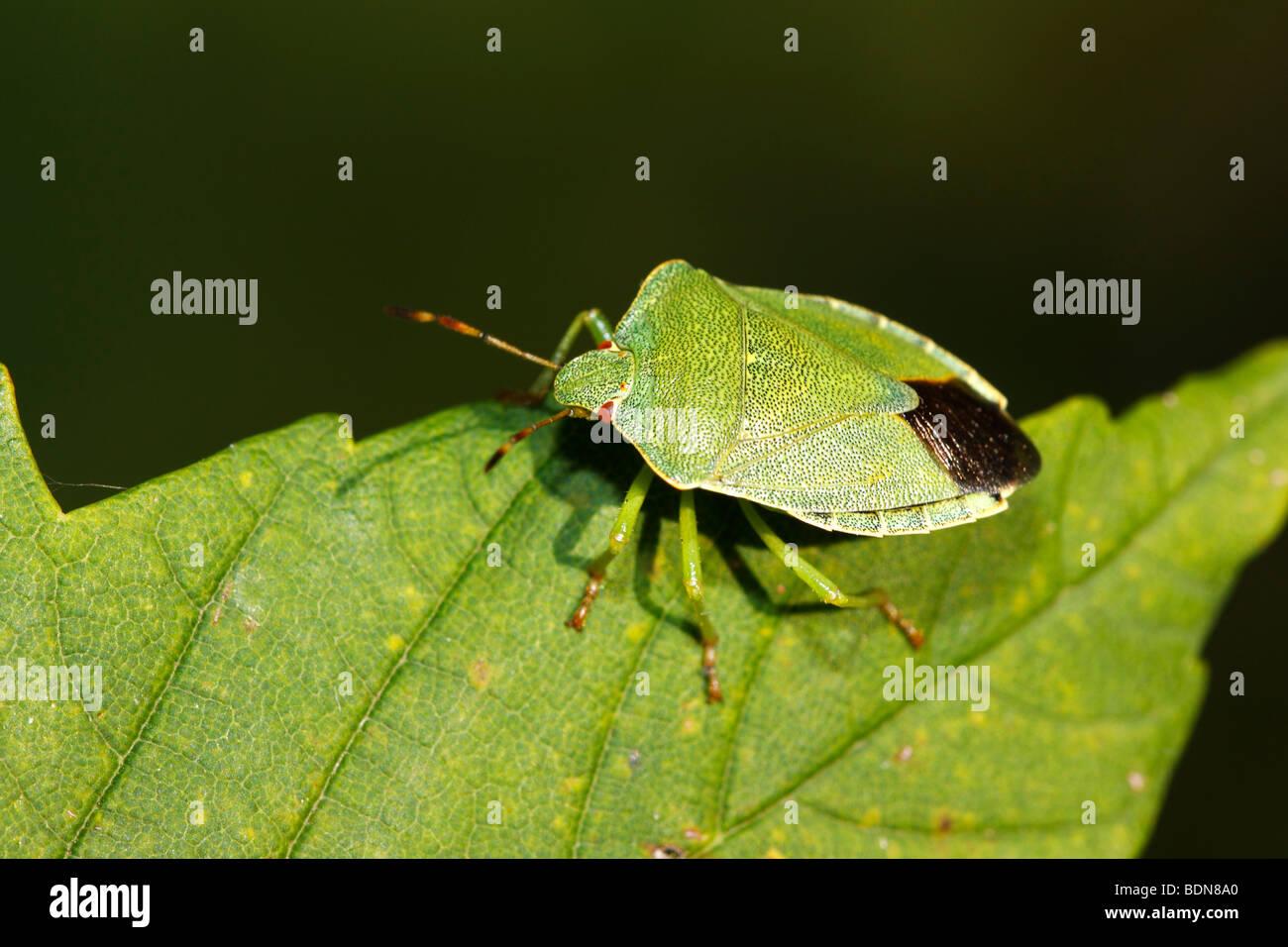 Green Shield bug (Palomena prasina), imago Photo Stock