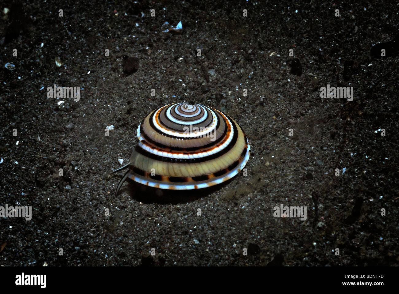 Cadran solaire Perspective Shell (Architectonica perspectiva), le Parc National de Komodo, en Indonésie, en Photo Stock