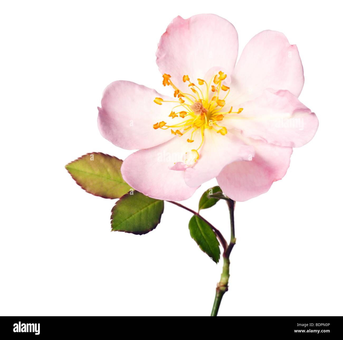 Jardin rose rose isolé sur un fond blanc, pur Photo Stock