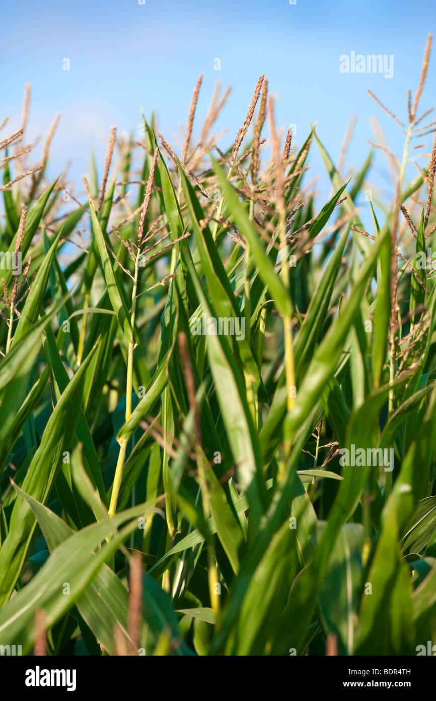 Close up of green plants de maïs, avec ciel bleu Photo Stock