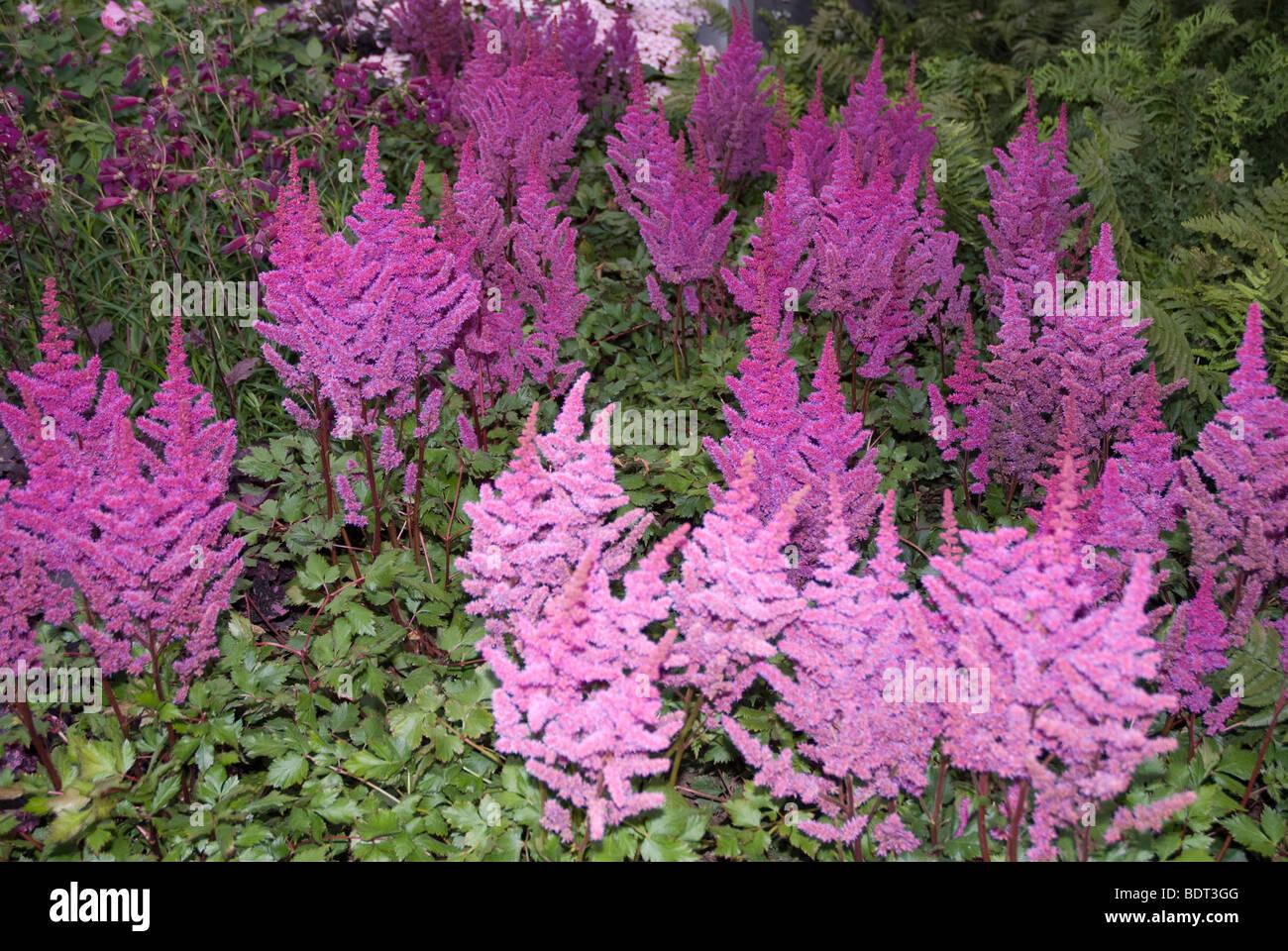 astilbe rose fleurs banque d'images, photo stock: 25730560 - alamy