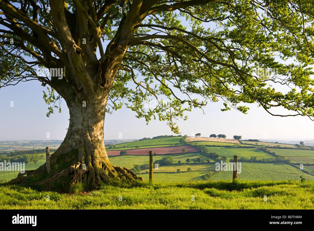 Campagne vallonnée et arbre sur Raddon Hill, Devon, Angleterre. En été (juin) 2009 Photo Stock