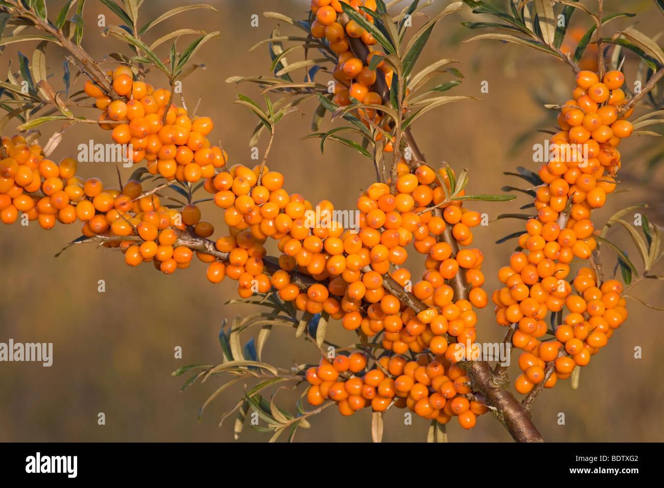 «Sanddorn / / Argousier Hippophae rhamnoides Banque D'Images