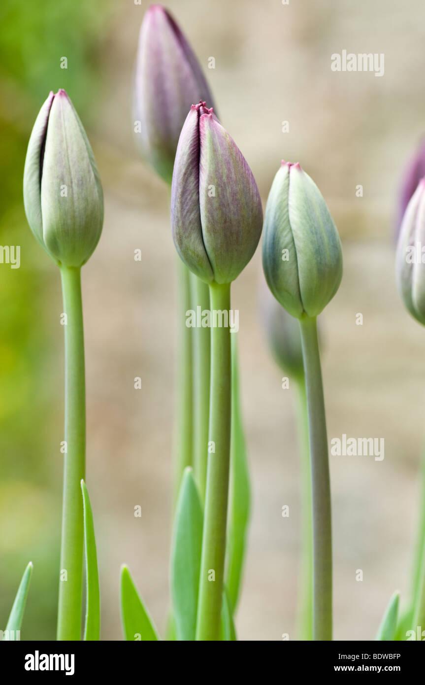 Close up of Purple tulips dans un lit à l'extérieur un moulin au Pays de Galles Banque D'Images