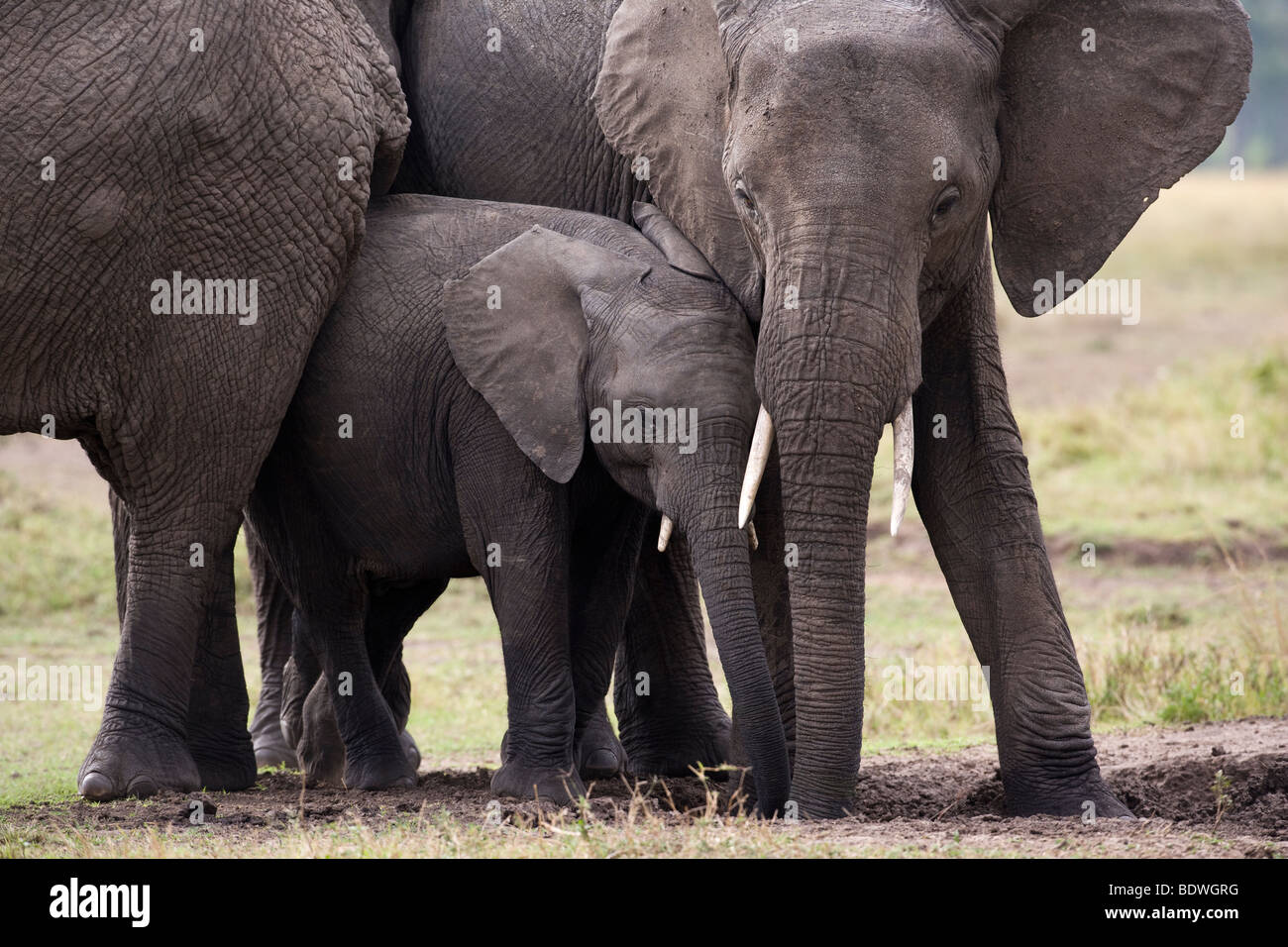Le bébé et la mère frotte les éléphants de protection de l'éléphant d'étreindre Photo Stock