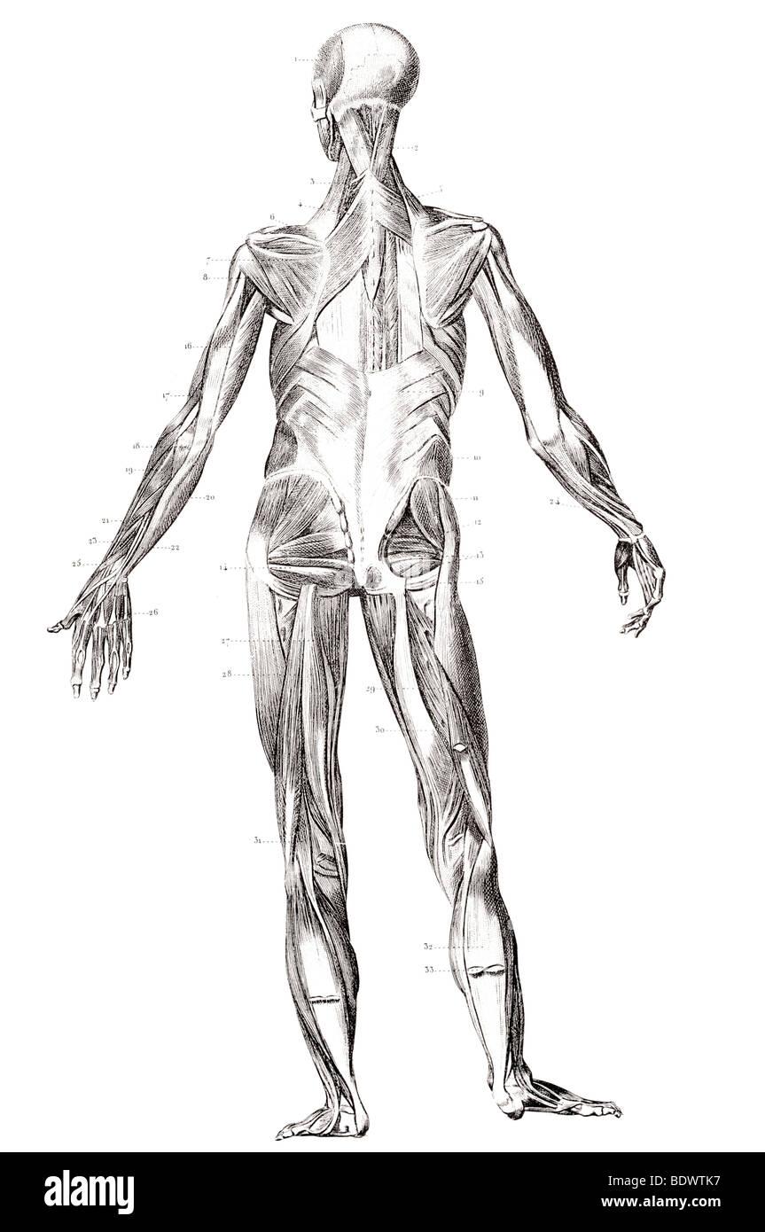 La structure du muscle humain face arrière Photo Stock