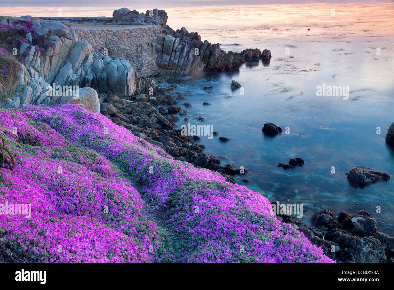 Fleurs violet usine à glace et l'océan. Pacific Grove, Californie Photo Stock
