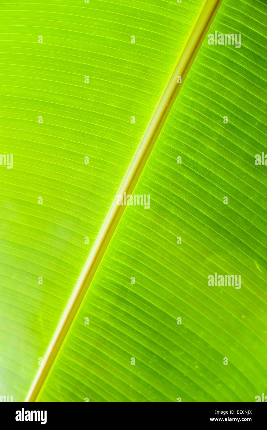 Genre Musa, Famille Musaceae Photo Stock