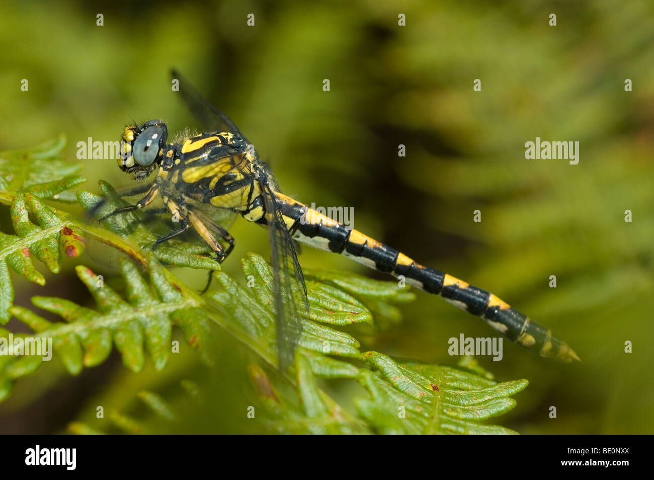 Grand pincertail Onychogomphus uncatus (libellule) Photo Stock