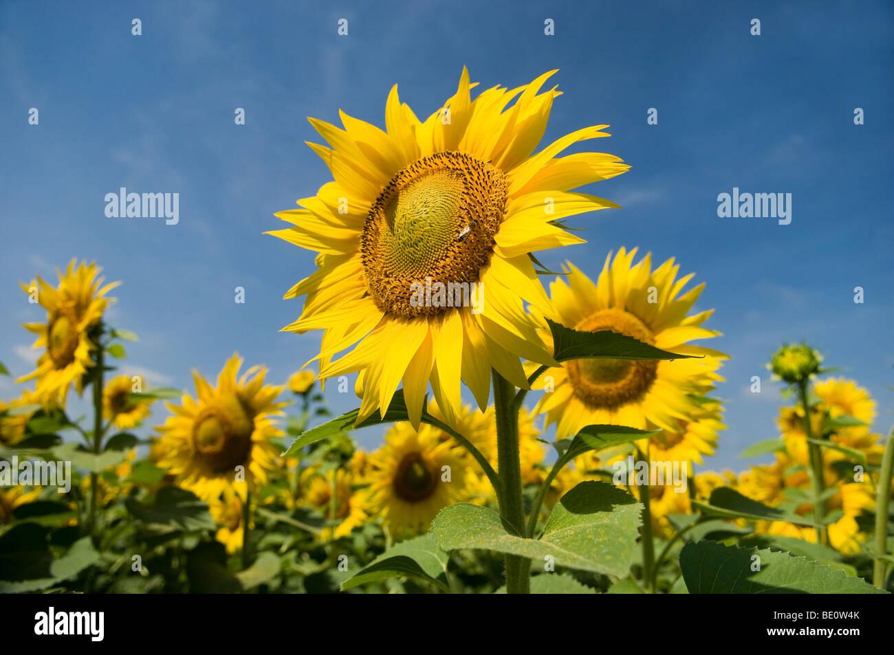 De tournesol dans Toscana, Italie Photo Stock