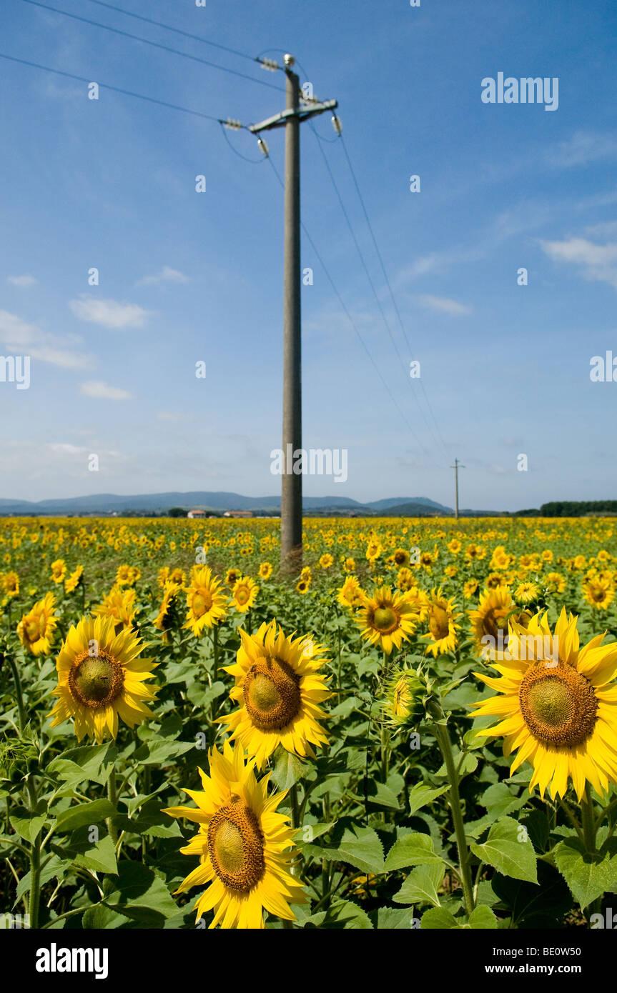 Tournesols en Toscane, Italie Photo Stock