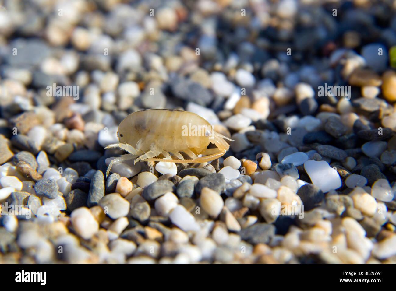 Sandhopper; Talitrus saltator; sur plage de galets Photo Stock