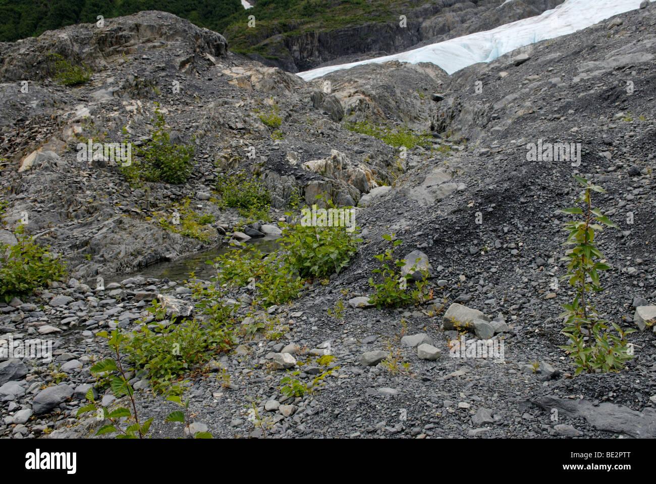 La succession écologique primaire, nouvelle croissance des plantes, à proximité d'un glacier Photo Stock