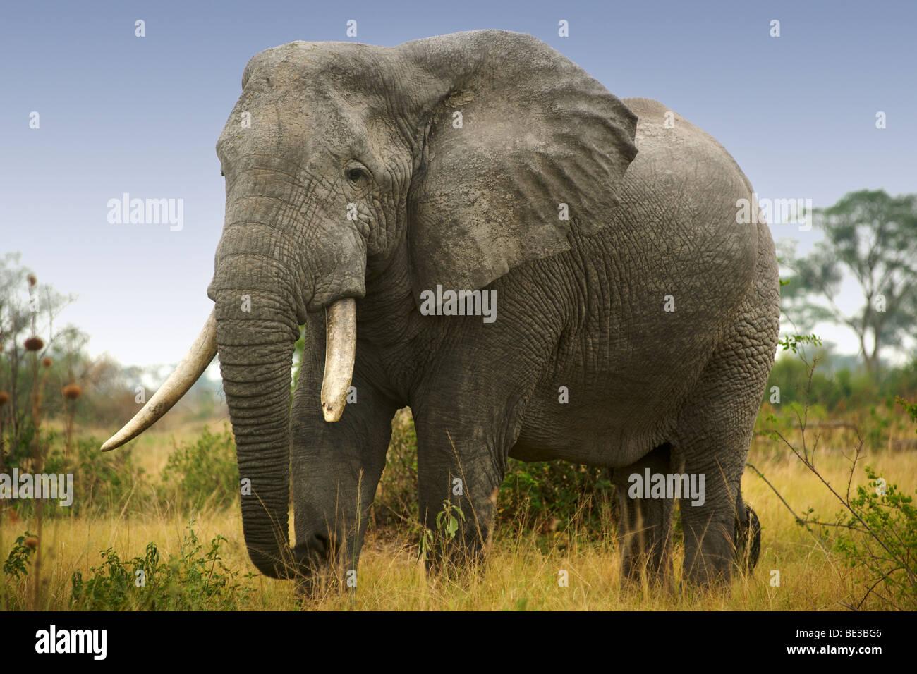 Elephant (Loxodonta Africana) à Ishasha dans le Parc national Queen Elizabeth en Ouganda. Photo Stock