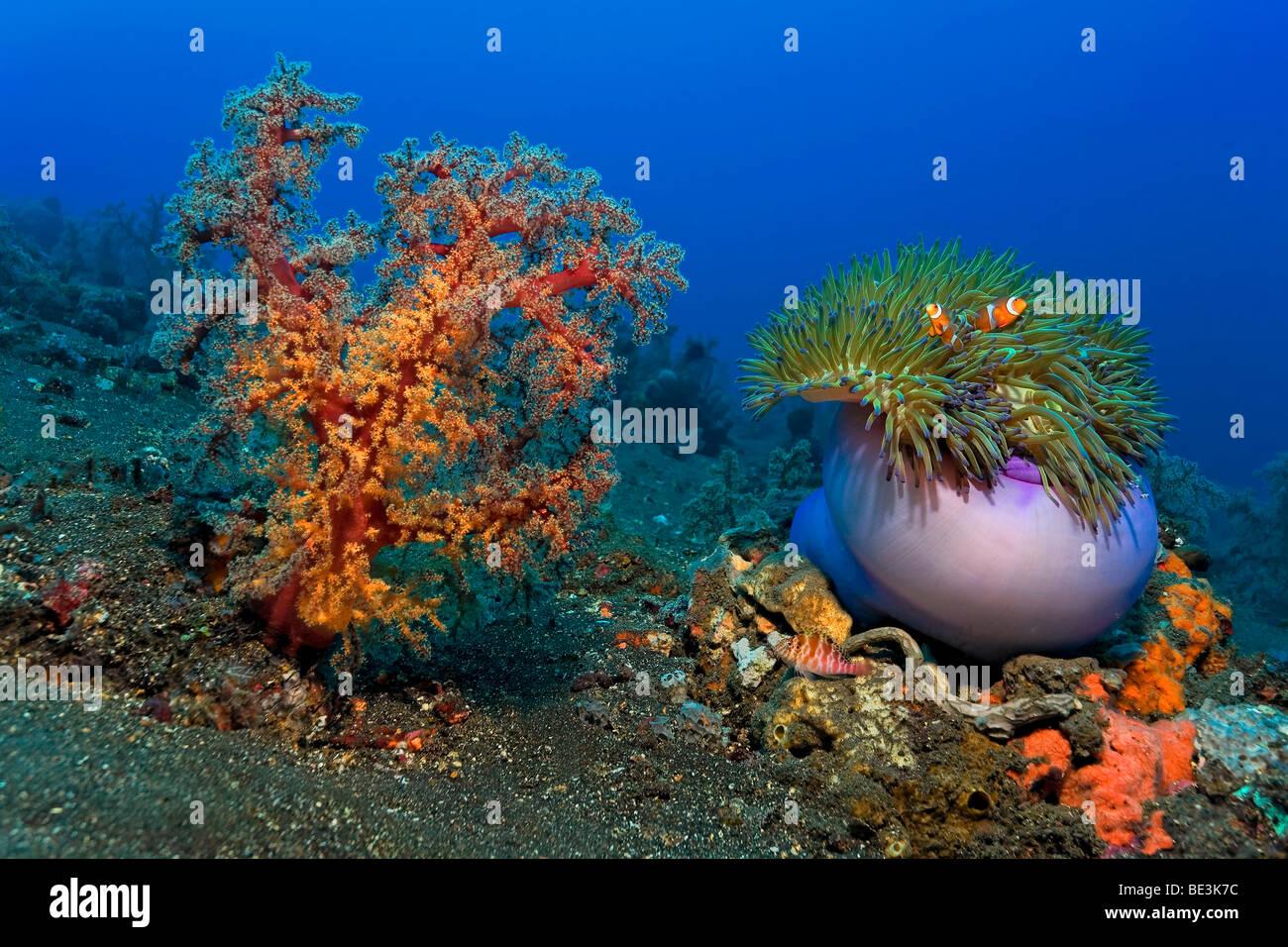 Paysages sous-marins avec de grands coraux mous, anémone de mer magnifique (Heteractis magnifica) et un couple Photo Stock