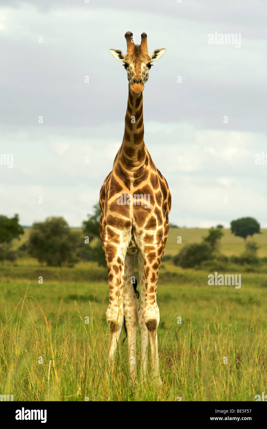 Girafe (Giraffa camelopardalis) dans le Parc National de Kidepo Valley dans le nord de l'Ouganda. Photo Stock