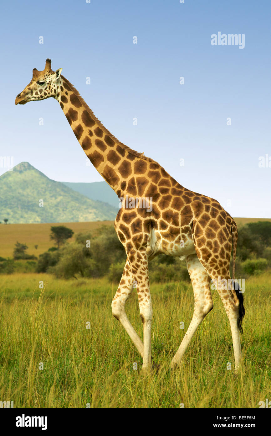 La girafe Rothschild dans le Parc National de Kidepo Valley dans le nord de l'Ouganda. Photo Stock
