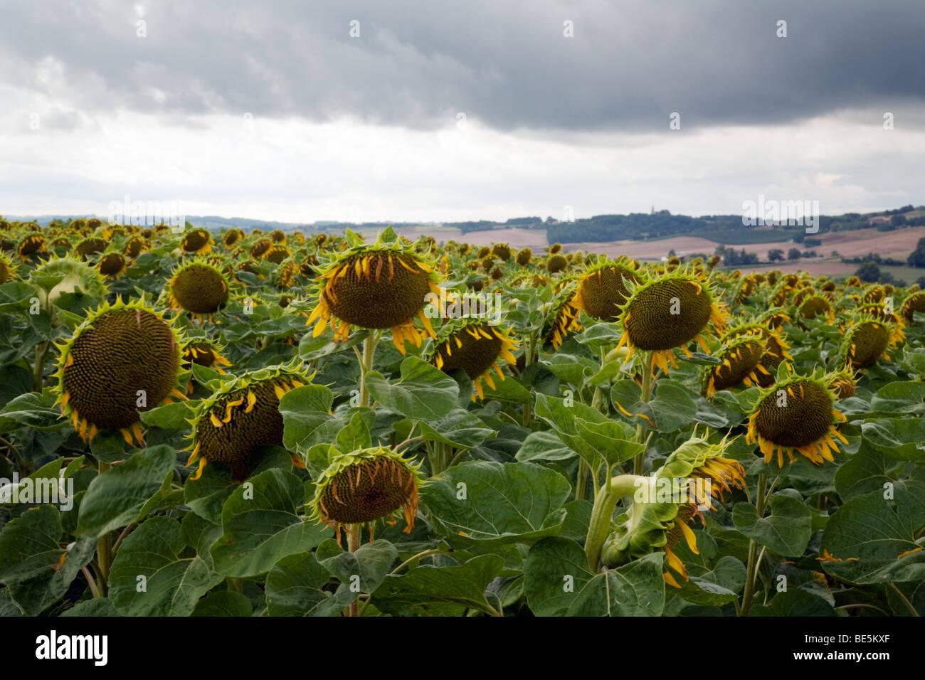 Un champ de tournesols avec leurs têtes vers le bas, contre un ciel gris Photo Stock