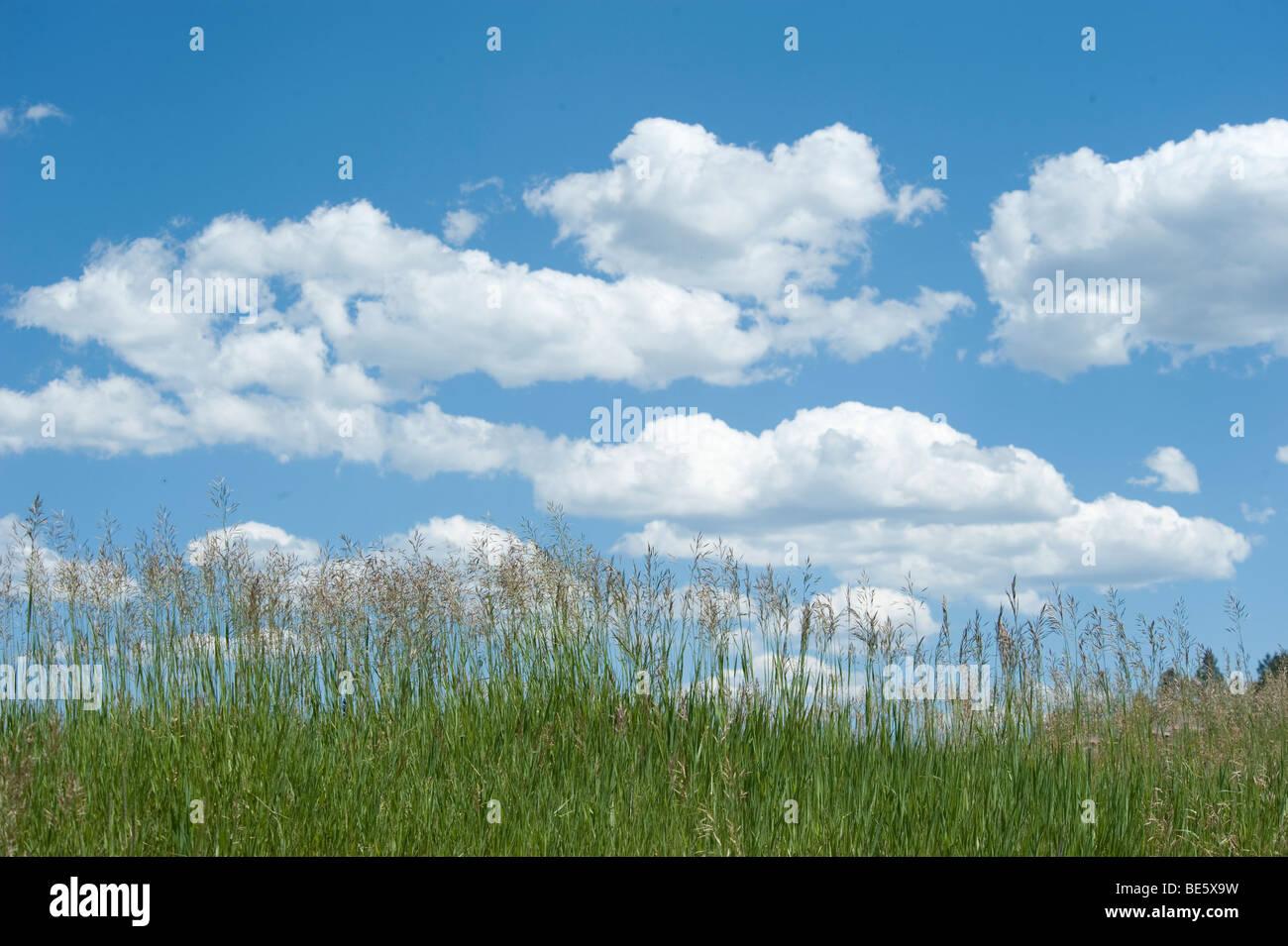 Les cumulus dans ciel bleu clair avec l'herbe en premier plan Banque D'Images