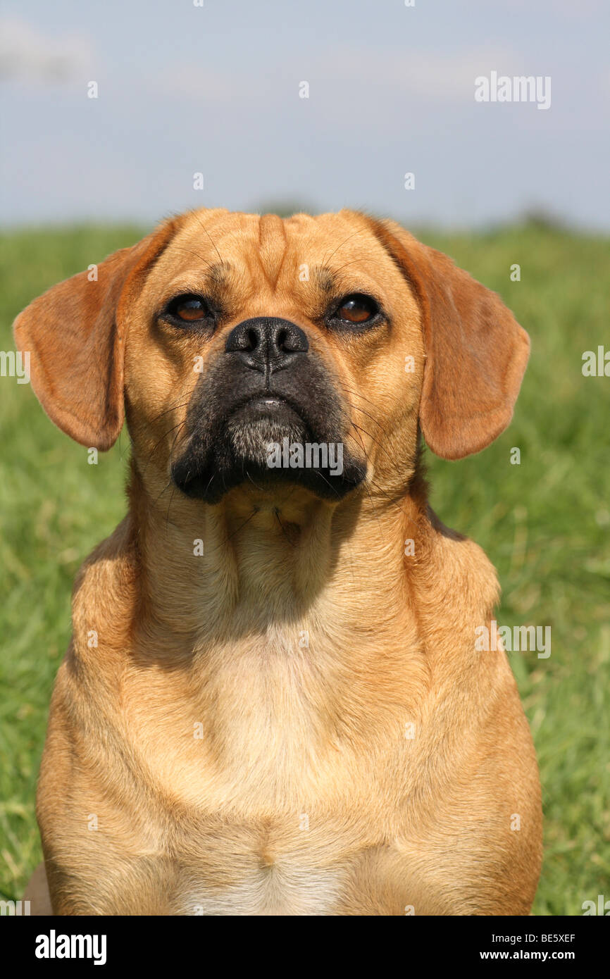 mops beagle photos mops beagle images alamy. Black Bedroom Furniture Sets. Home Design Ideas