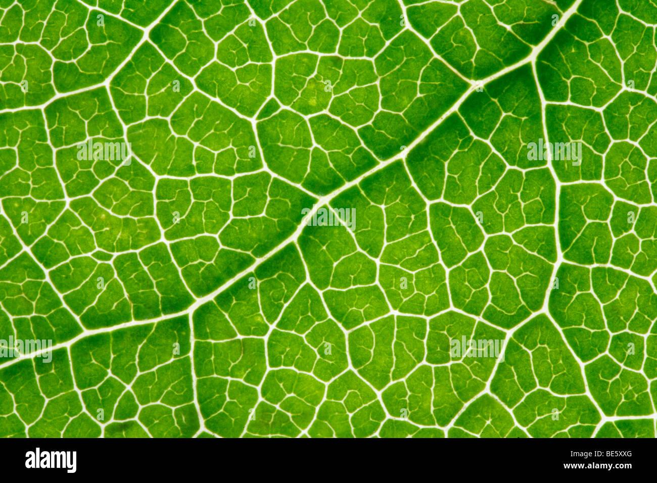 Les veines des feuilles, la lumière brillant à travers Photo Stock