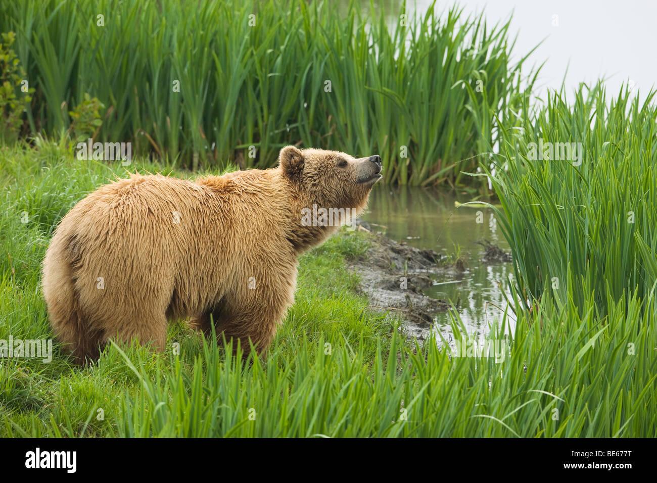 L'ours brun (Ursus arctos) debout au bord de l'eau tout en reniflant l'air. Photo Stock