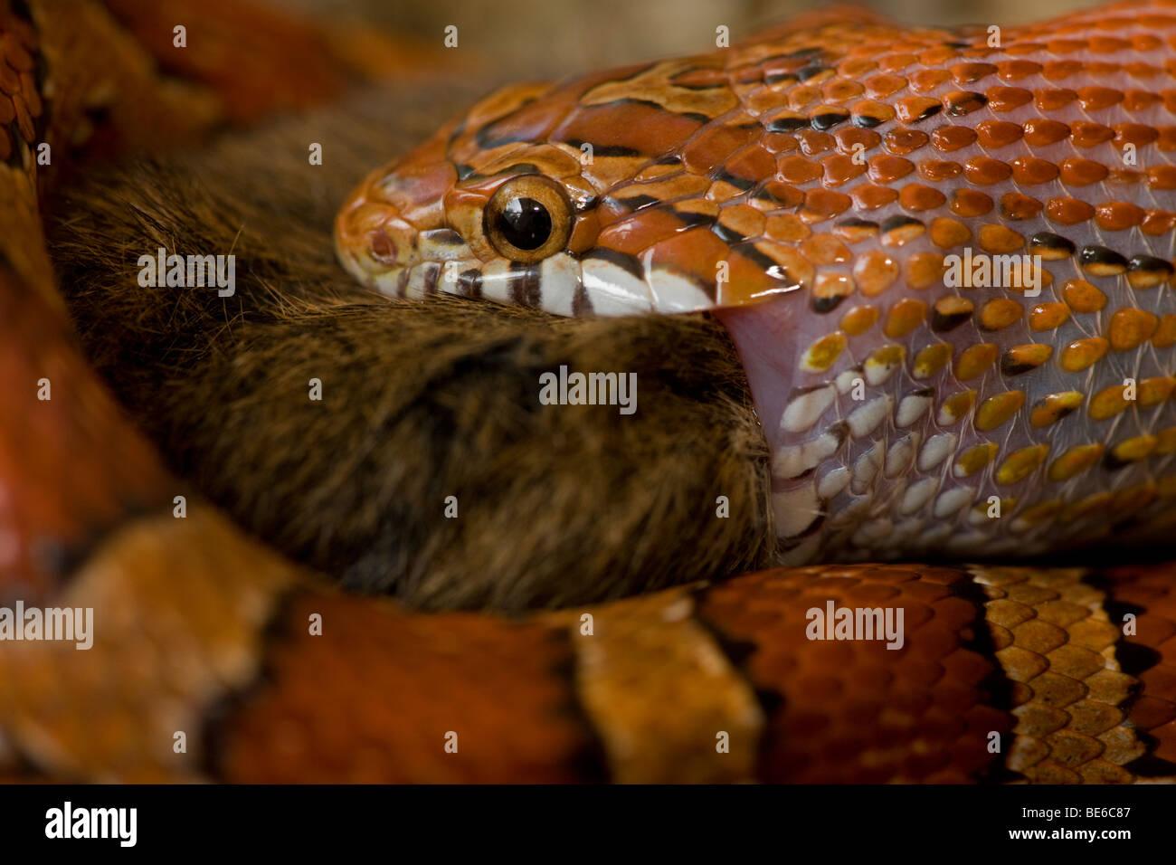 Elaphe guttata serpent maïs guttata) manger - Souris - USA