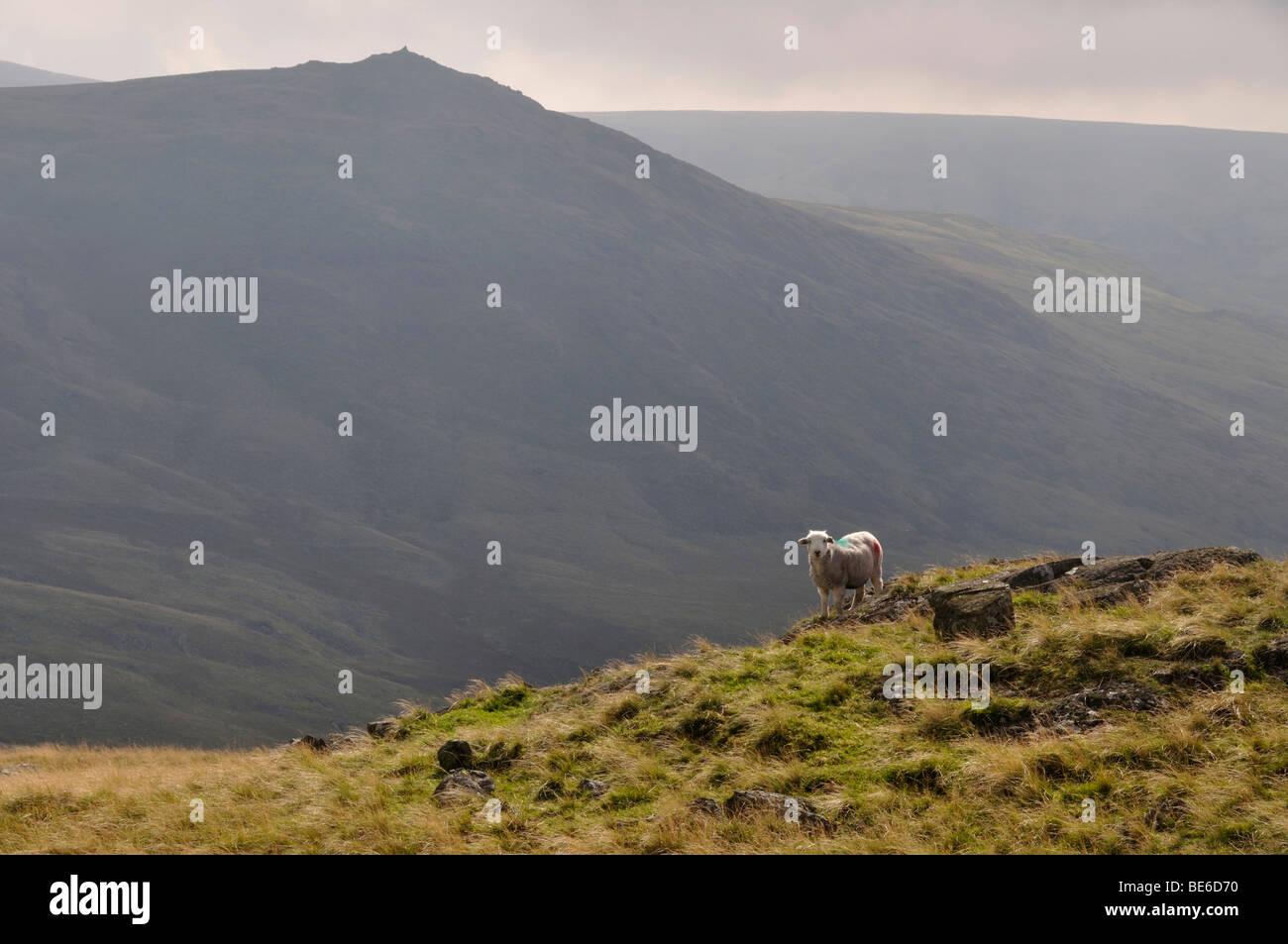 Les moutons près de Stainton Pike, Ulpha fells, Lake District, Angleterre Banque D'Images