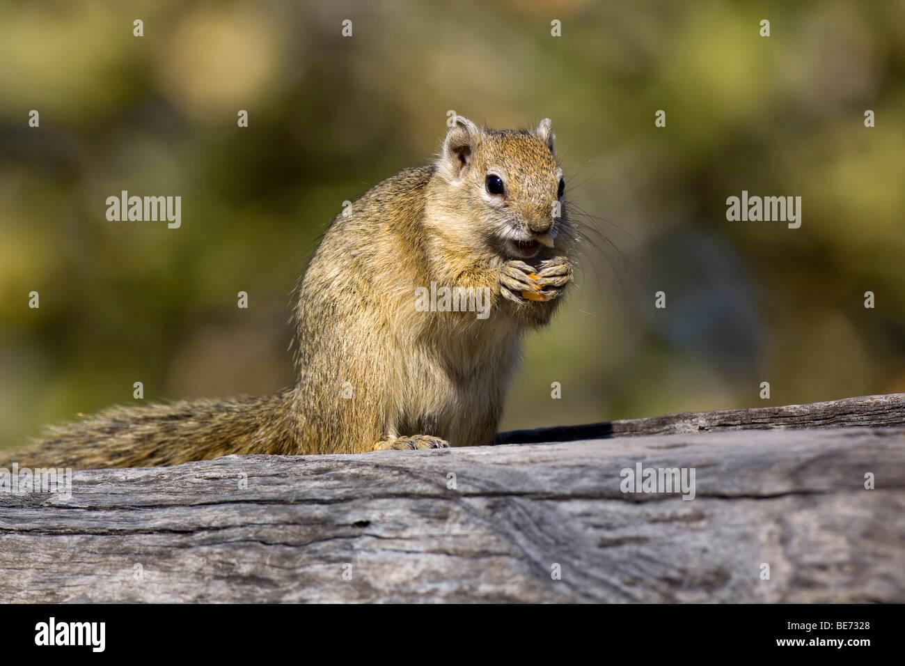 À pieds jaunes, écureuil écureuil arbre ou de Smith's Bush (Paraxerus cepapi) Écureuil, Photo Stock