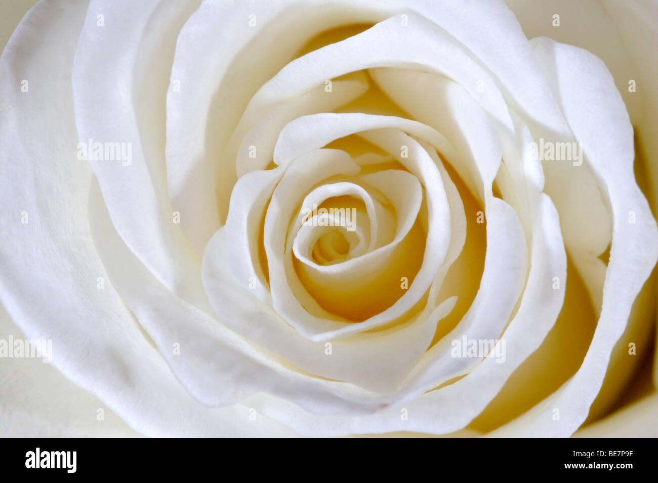 Fleur rose blanche (Rosa genre) détail close up Photo Stock