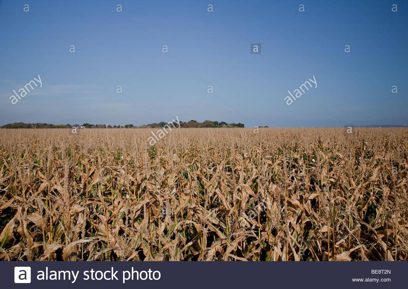 Champ de maïs ou de maïs Photo Stock