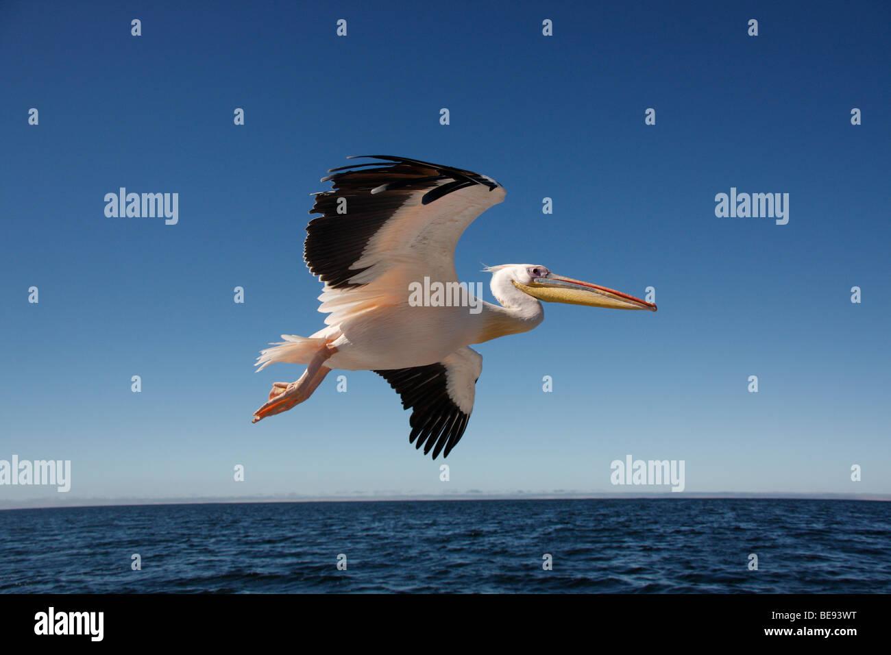 Grand Pélican blanc (Pelecanus onocrotalus) dans la baie de Sandwich, sur la côte de la Namibie Photo Stock