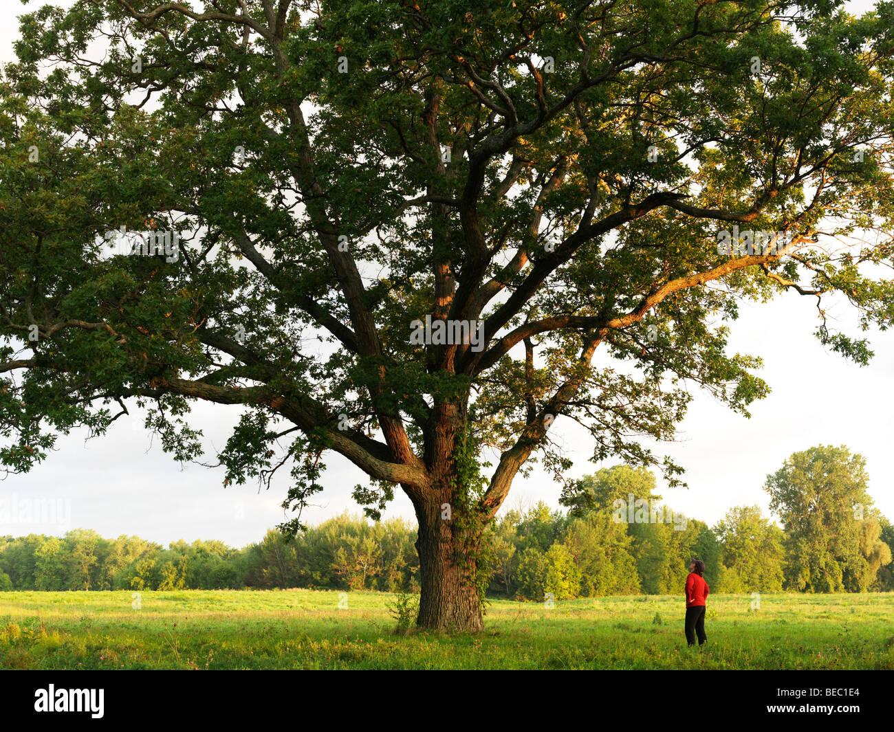 Canada Ontario Niagara-on-the-Lake, jeune femme à la recherche jusqu'à un chêne vieux de 200 Photo Stock