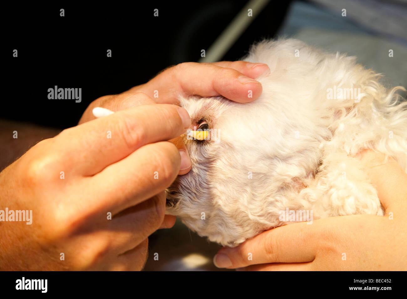 Le débridement du un ulcère cornéen dans un chien Banque D'Images ...