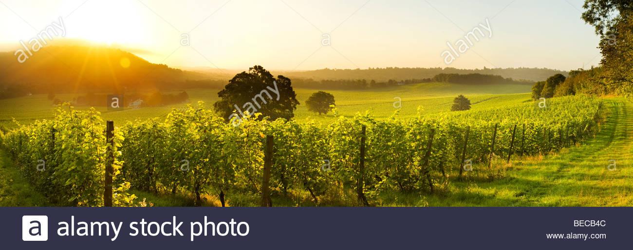 Lever de Soleil sur le vignoble Denbies Wine Estate &, près de Dorking, Surrey, Angleterre Photo Stock