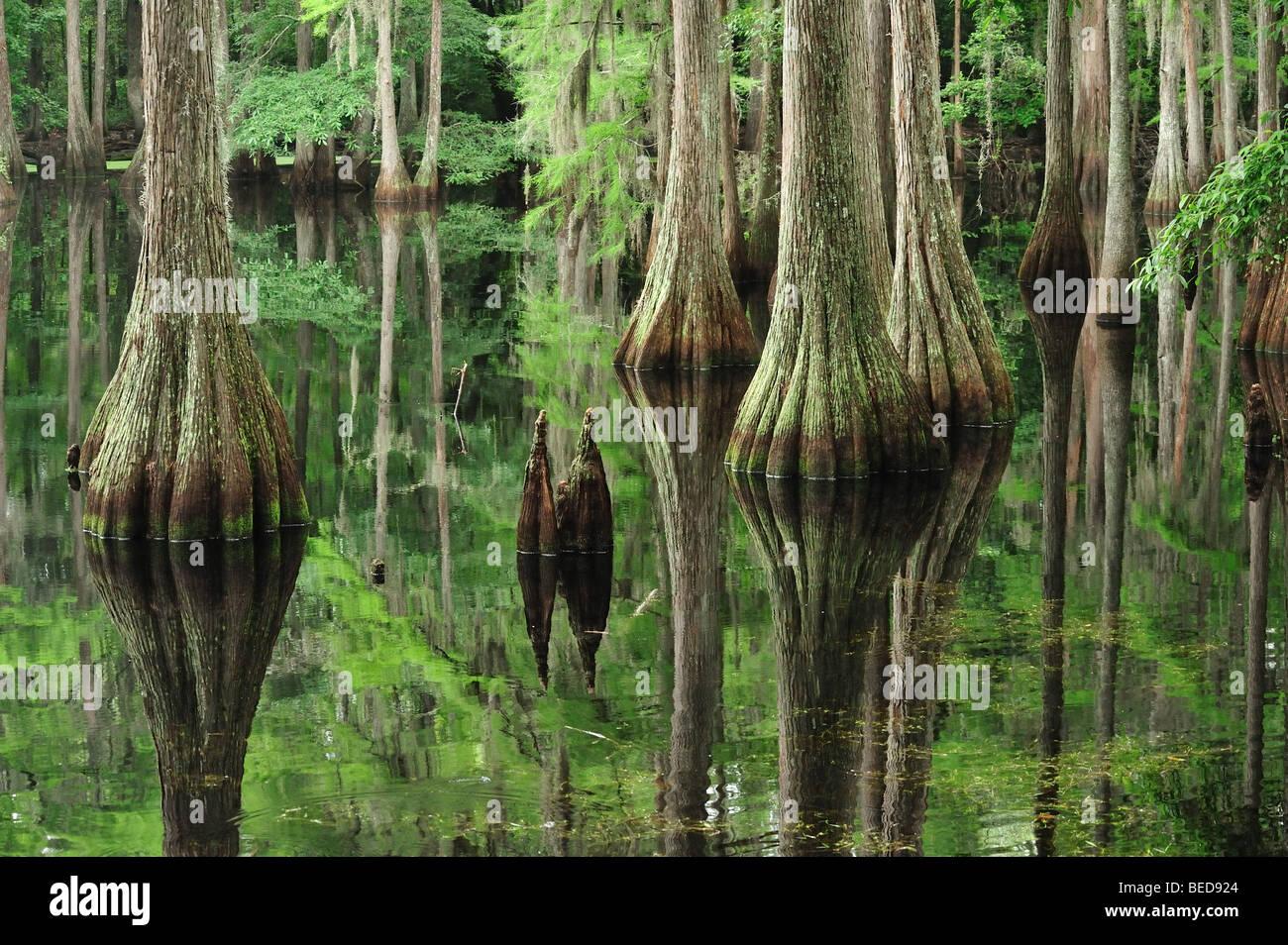 Le cyprès chauve, Taxodium distichum, lac Bradford, en Floride Photo Stock
