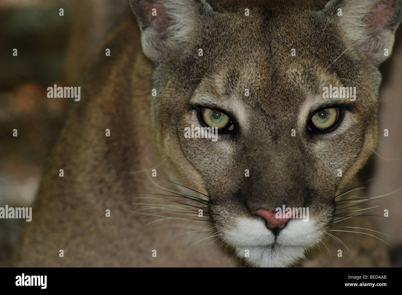 Florida panther, Puma concolor coryi, Floride, captive Photo Stock
