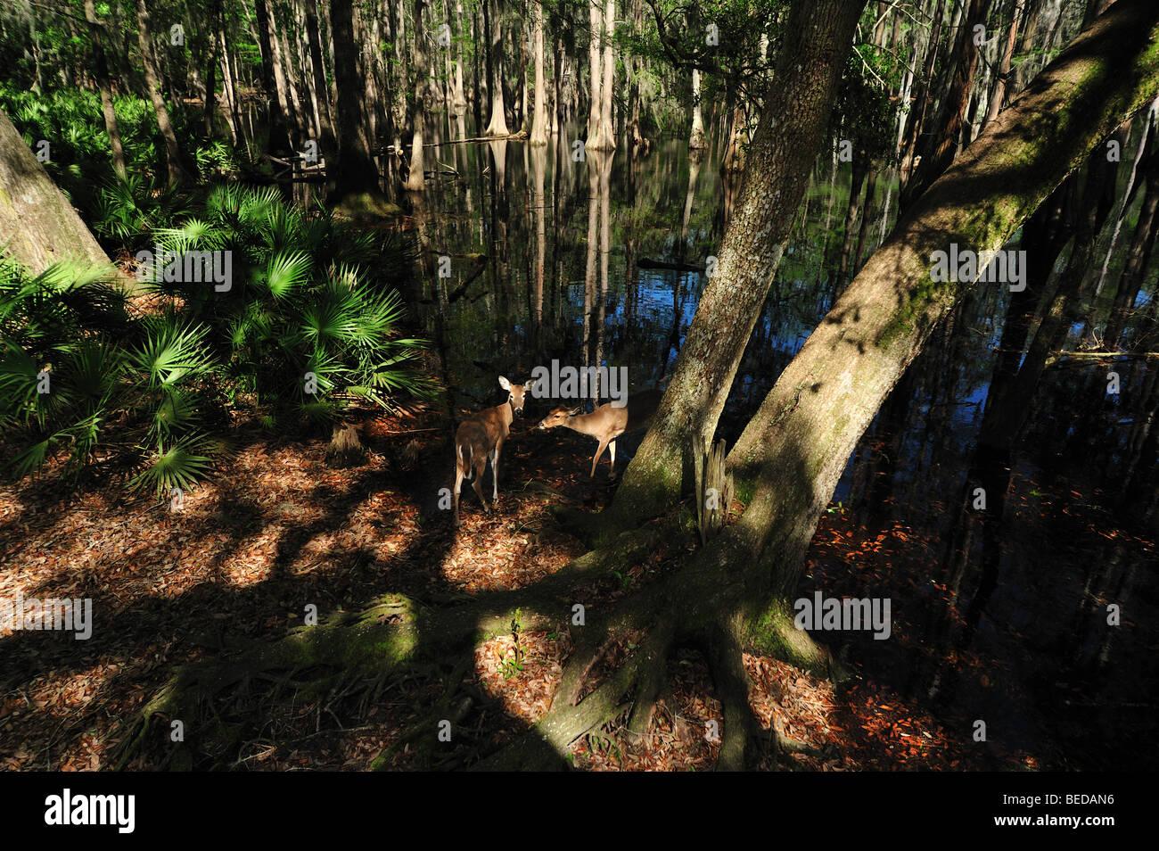 Le cerf de Virginie, l'Odocoileus virginianus, lac Bradford, en Floride (captive) Photo Stock